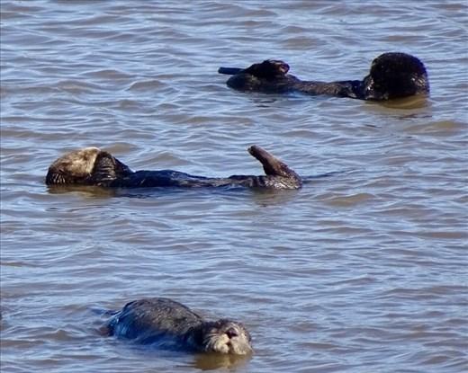 Otters in Moss Landing
