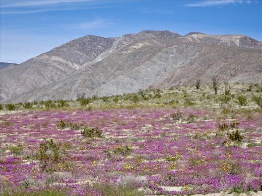 The blooming desert..