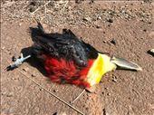 Toucan bird......proof they exist.....so sorry it's not alive!: by margitpirsch, Views[35]