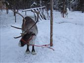 As it got closer to lunch time we found ourselves taking a break at a reindeer farm. It's not what you think...: by maria_brett, Views[142]