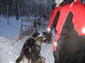 Getting ready for the dog sled.  The dogs are amazing. They were barking so loudly because all they wanted to do was go for a run.  Apparently once they start there's absolute silence. Lesson: Drink responsibly!: by maria_brett, Views[186]