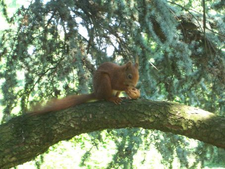 A squirrel in the 'Flora' park, a gorgeous park on the northern outskirts of Koln, complete with turtles in the pond and Australian banksias!