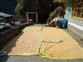 drying the corn: by marianne-india, Views[186]