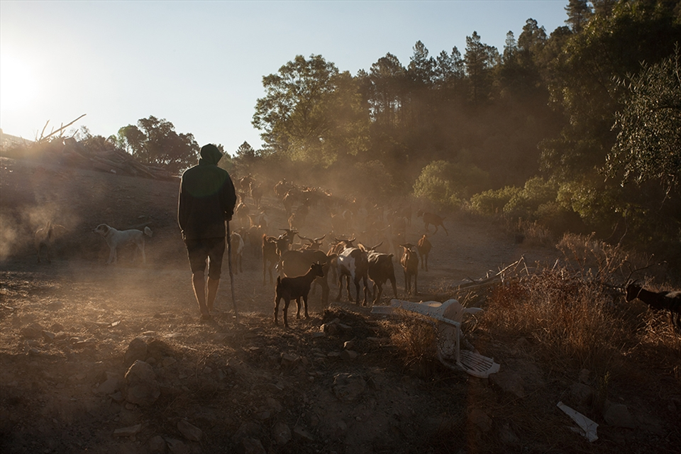 OWG Out with the goats - August,  the hottest month in Portugal, but some great light at sunrise.