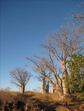 Boab trees: by markr_mcmahon, Views[156]