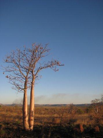 Boab tree and a bush fire