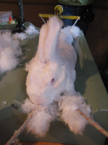 An Angorran rabbit looking none too pleased