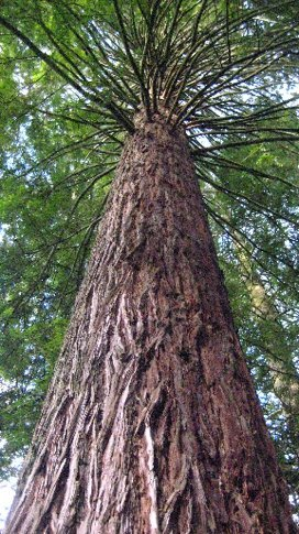 A massive redwood stretched into the sky