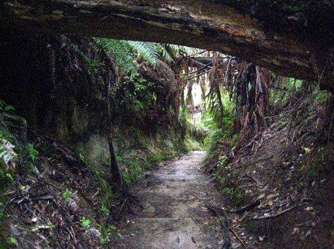 The redwood forest, Rotorua