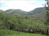 Tea plantation, Kumily, Kerala: by markr_mcmahon, Views[374]