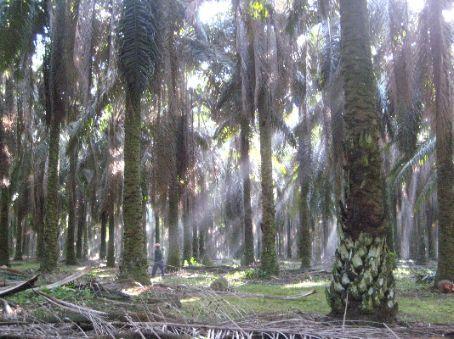Palm tree forest, Melaka