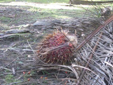 Harvested palm fruit