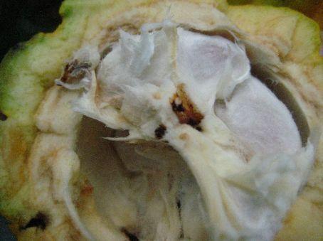 Cocoa plant close-up