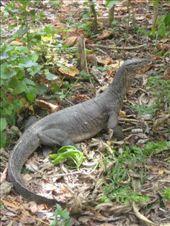 Monitor lizard, Hong Island: by markr_mcmahon, Views[993]
