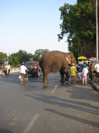 An elephant goes for n evening stroll in Phnom Penh