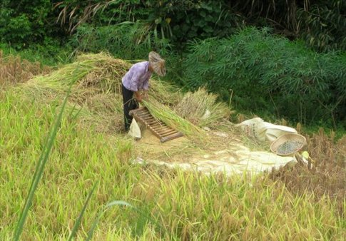 A woman harvesting rice in the valley of Yong Ding county.