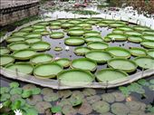 HUGE lily pads in the Nanputuo Temple gardens. They were seriously massive. This water was teaming with fish and turtles. : by mazystar, Views[349]