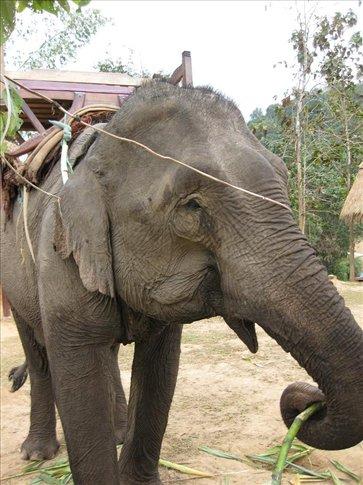 Awwww! So cute. This elephant LOVES her sugar cane. Nom nom nom. :)