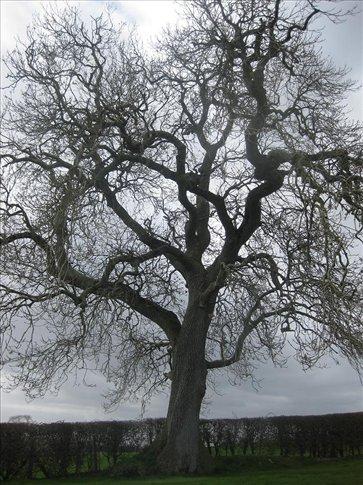 Huge beautiful tree on the hill at Newgrange.