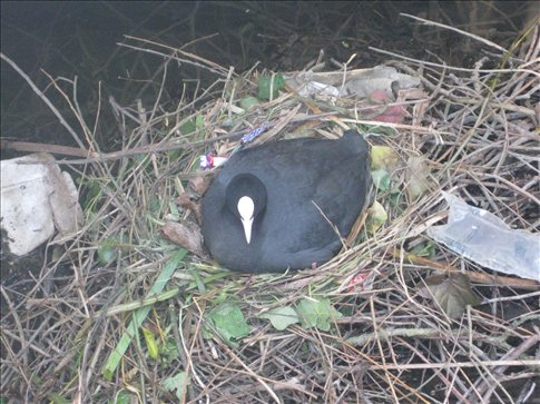 A cute little coot in its lovely nest on the river. The boat man told us it was probably the Dad and its sitting on 17 eggs!
