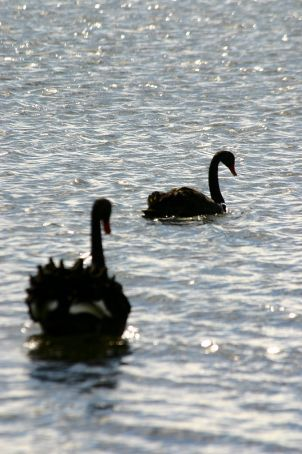 Frilly black  swans