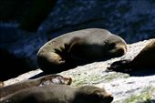 Fur seals basking in the sun: by mcgurk77, Views[297]