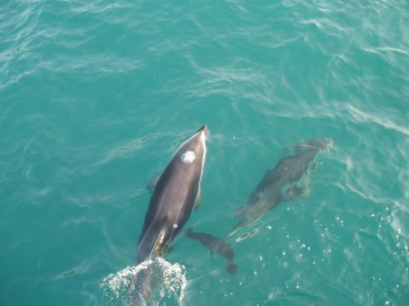 Before you know it they are swimming alongside the boat, jumping in and out of the waters, so playful. These Dolphins here at Kaikoura are dusky dolphins. Beautiful.