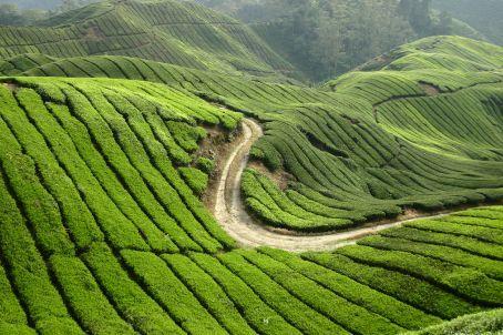 Boh tea plantation Cameron Highlands.