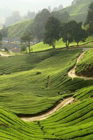 Winding tea paths