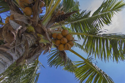 "In Samoa the coconut tree is known as the ""Tree of Life"". It is reported that the coconut tree has helped to sustain life in Samoan Islands more than any other plant. Both in local uses and as export products, such as Copra, coconut cream and the whole coconut. In the early 1980's coconut tree exports amounted to around 58% of the value of Samoan exports. There has been declines but currently there is a healthy come back, and again the tree is seen as a potential source of economic livelihood."