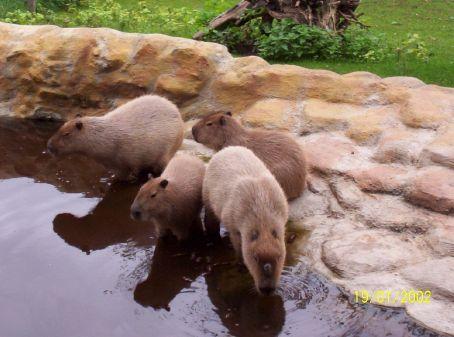 Capyburas (giant water guinea pigs) at Prague Zoo