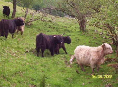 Hairy coos