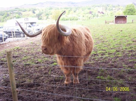 Hamish the Hairy Coo