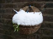 My winter lettuce wall basket, looking the worse for weather.   : by melissa, Views[276]