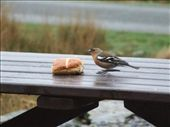 This bird was often at the table, and when it was empty he would chirp very loudly until I found something for his breakfast!  : by melissa, Views[183]