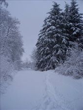 Beautiful pine forest in the snow: by melissa, Views[211]