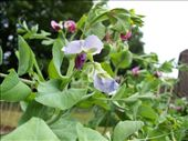 A new (but an old-world heritage variety) type of purple podded pea I'm trying this year.  Lovely looking flowers.. I can't wait to see the pod.  Should make it a lot easier to find them amongst the green foliage.  The pod is purple but the peas are still green.  : by melissa, Views[192]