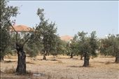 Olive tree groves are everywhere. They have a rich history in mythology.: by melvasili, Views[87]