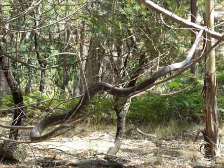 We placed Tiger in this dead acacia so we could get a better look at her. Then we left her alone.