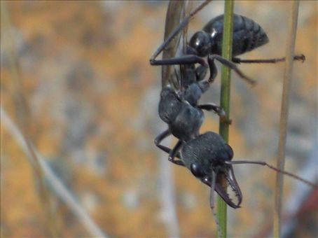 Flesh eating flying ant - look at those pincers!