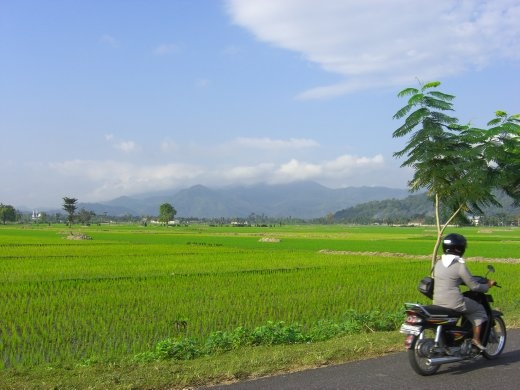 Ricefields near Gerung, west Lombok