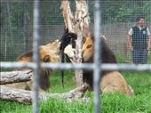 lions eating at the zoo: by merryt32, Views[520]