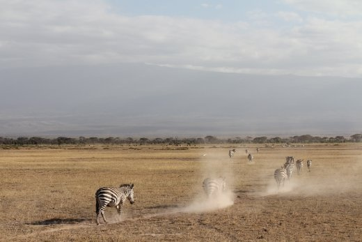 A herd of zebras makes its way through Amboseli National Park in Kenya. 