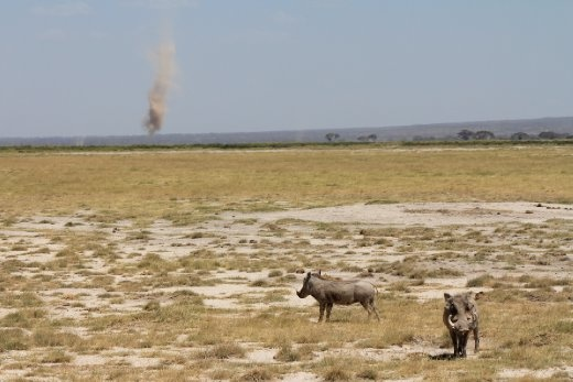 A pair of warthogs stand in the dry grass and watch as a dust devil grows in the distance.