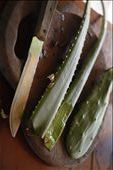 Aloe was collected to be used in part of a salve. For the majority of my stay in Belize, i worked with a traditional healer.: by mich, Views[117]