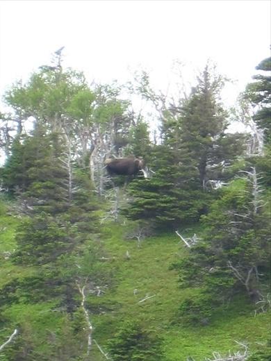 Bad zoom for THE MOOSE! Skyline trail, Cape Breton Island National Park, NS