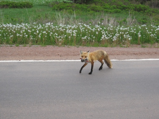 Fox on the road! They feed them!