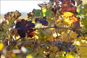 Wine farms in the valley produce some of the best wines in the country, shiraz being the flagship variety. This time of the year the vineyards are a colour feast – green, yellow, brown and deep red. : by michellekoekemoer, Views[127]