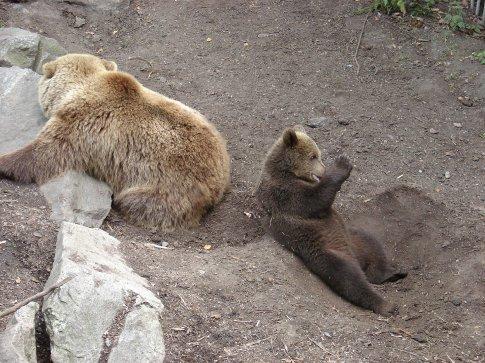 The Brown Bears at Skansen (mum and cub).