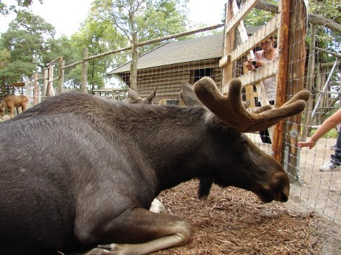 A Moose or Elk (male) at Skansen. Very common in Sweden and Finland, but we have not spotted one in the wild yet.